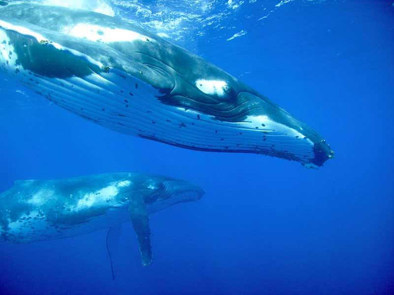 Tonga - Nager avec les baleines à bosse