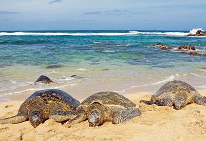 Les tortues de Hawaii