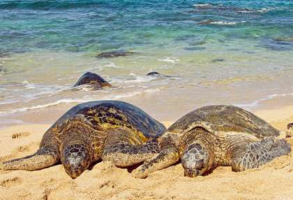 Tortue à Hawaii